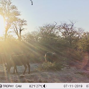 Trail Cam Pictures of Cape Buffalo in Zimbabwe