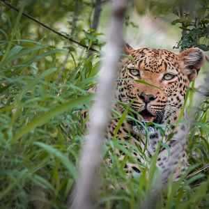 Leopard Female in the thickets
