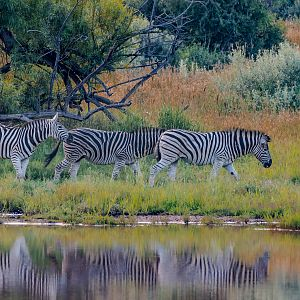 Late afternoon Zebra reflections
