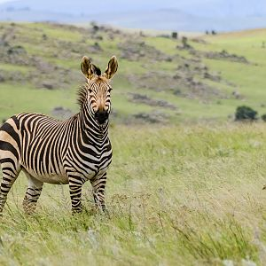 Inquisitive Mountain Zebra