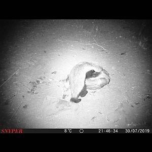 African Honey Badger Trail Cam Pictures South Africa