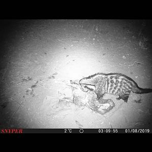 South Africa Trail Cam Pictures Civet Cat