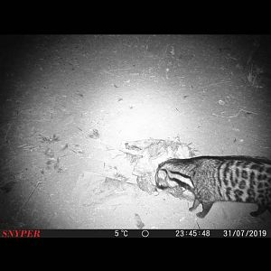 Trail Cam Pictures of Civet Cat in South Africa
