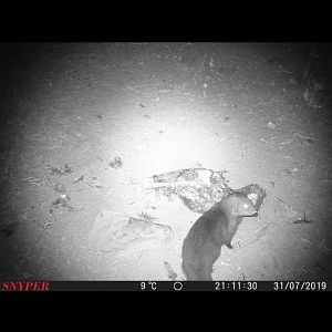 Mongoose Trail Cam Pictures South Africa