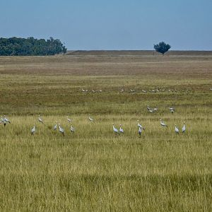 Blue crane Birds in a field South Africa
