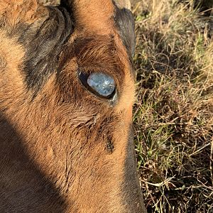 Old Red Hartebeest blind in eye