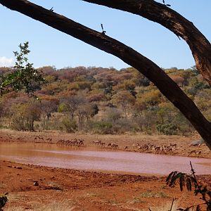 Impala at waterhole South Africa