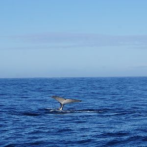 Whale watching at Hermanus South Africa