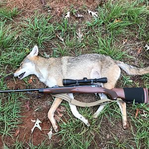 Texas USA Hunt Coyote