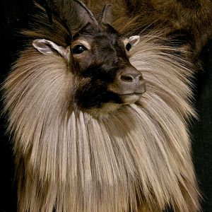 Tahr & Chamois Pedestal Mount Taxidermy