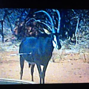 View of Bow shot on Sable Antelope