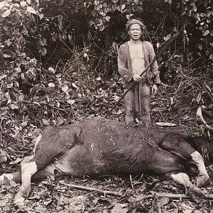 Hunting Banteng in Indonesia
