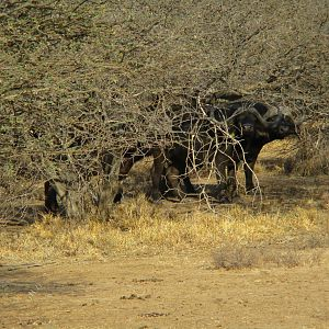 Cape Buffalo by the Crocodile River South Africa