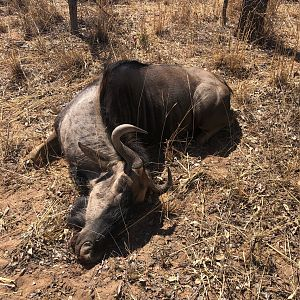 South Africa Cull Hunting Blue Wildebeest