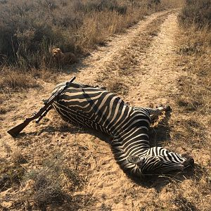 Burchell's Plain Zebra Cull Hunt South Africa
