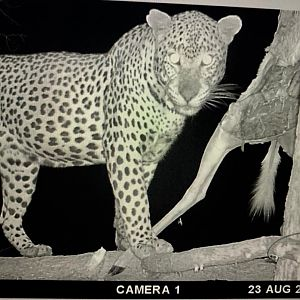 Leopard Trail Cam Pictures
