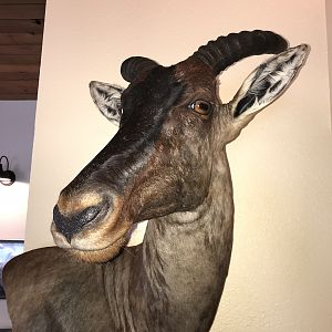 Tsessebe Wall Mount Taxidermy
