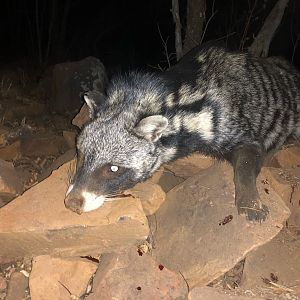 South Africa Hunting Civet Cat