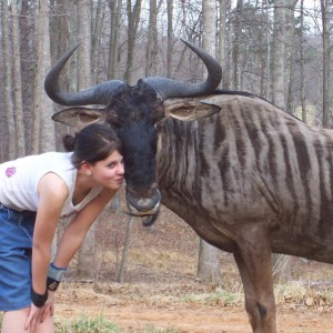Pet Blue Gnu (Blue Wildebeest)