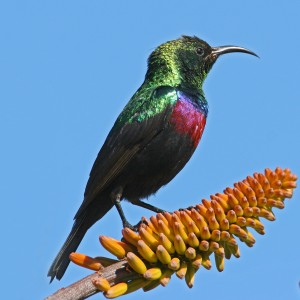 Male Marico Sunbird South Africa