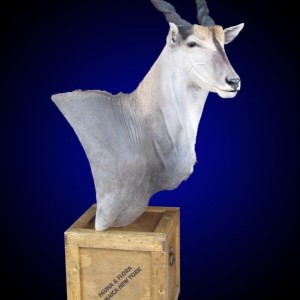 Eland shoulder mount pedestal on old-fashioned shipping crate