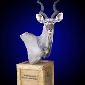 Kudu shoulder mount pedestal on old-fashioned shipping crate