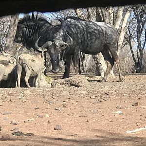 View of Warthog & Blue Wildebeest from the Bow Blind Hide