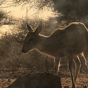 Female Duiker in South Africa