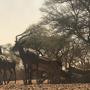 Black & Common Impala
