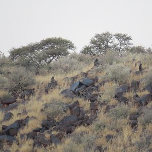 Baboons on a distant hill