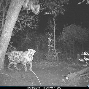 Leopard Trail Cam Pictures Namibia