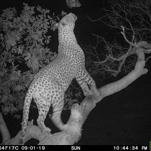 Leopard on bait Namibia