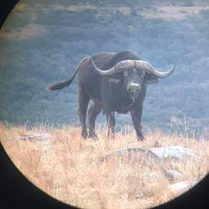 Cape Buffalo in scope