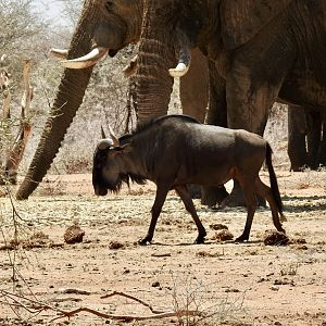 Notice the size of the elephant compared to blue wildebeest