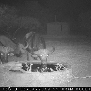 South Africa Trail Cam Pictures Cape Buffalo