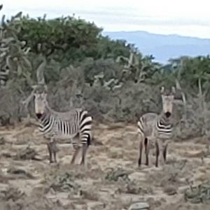 Hartmann's Mountain Zebra in South Africa