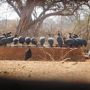 Crested Guineafowl in South Africa