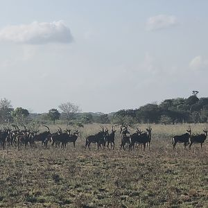 Sable Antelope Herd in Mozambique