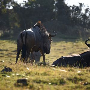 Blue Wildebeest in South Africa