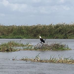 Fish Eagle in Mozambique