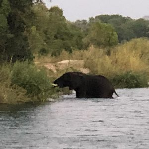 Elephant in the Zambezi River Zimbabwe