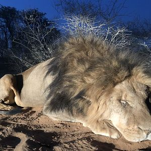 South Africa Hunting Lion