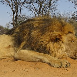 Hunt Lion in South Africa