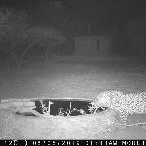 Trail Cam Pictures of Leopard