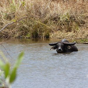 Asiatic Water Buffalo in Australia