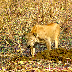 Lioness in Zambia