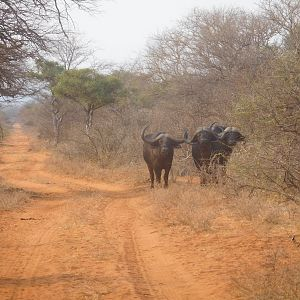 Buffalo in South Africa