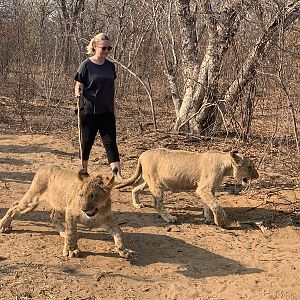 Walk with Lions in Zimbabwe