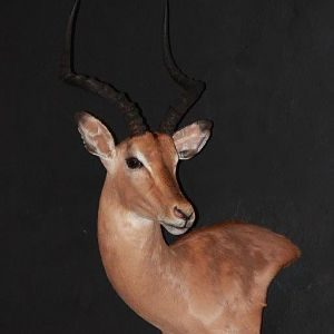 Impala Wall Mount Pedestal Taxidermy