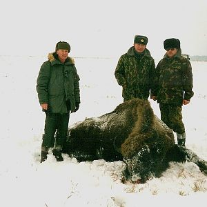 Wisent, European Bison Hunt Belarus
